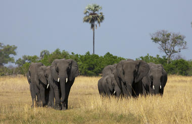 Elephants Crossing the Selinda Reserve