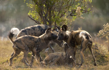 Wild Dog in the Selinda Reserve